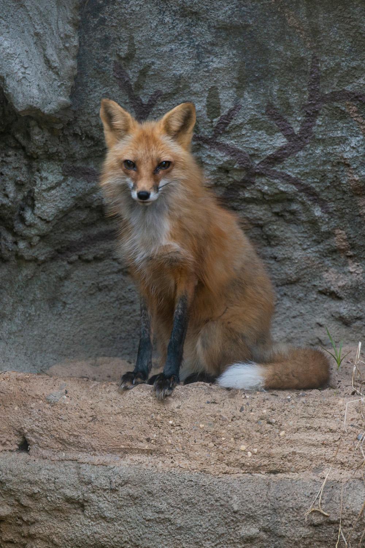 Red Fox Little Rock Zoo